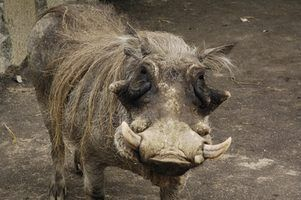 Lois alabama sur la chasse de porcs sauvages