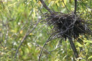 Les avantages nid de soupe oiseaux