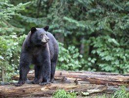 Faits d`ours noirs pour les enfants
