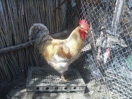 Maladies respiratoires poulet