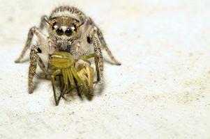 Araignées communes trouvées dans les maisons de orégon