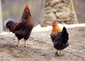 Faits sur les poulets pour enfants d`âge préscolaire