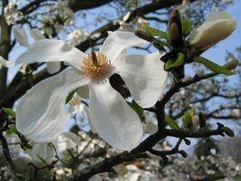 Arbres à fleurs en géorgie