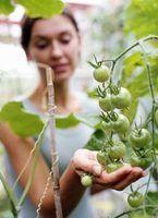 Les plants de tomates ont besoin de calcium pour produire des fruits sains.