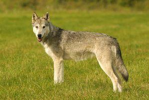 Vous pouvez faire un modèle 3D d`un loup de l`argile polymère.