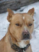 Maladies chien incurable