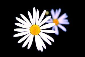 Liste des types de fleurs de marguerite