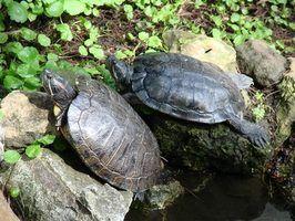 Maladies de tortues peintes