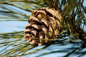 Idées de projets d`artisanat de cône de pin