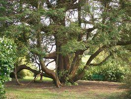 Les plantes qui peuvent se développer sous les arbres de cèdre