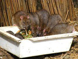 Secrets rat exterminateur
