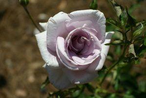 Rose conseils de plantation
