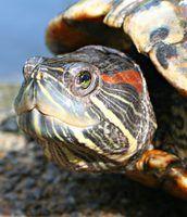 Types de ohio tortues d`étang
