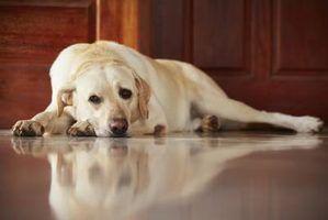 Quels sont les signes d`insuffisance rénale chez les chiens âgés?