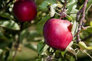 Quelles sont les causes d`une pomme à la pourriture?